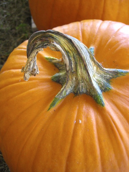 Pumpkin stem - Living With Color Designs